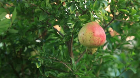 roma : pomegranate on the tree