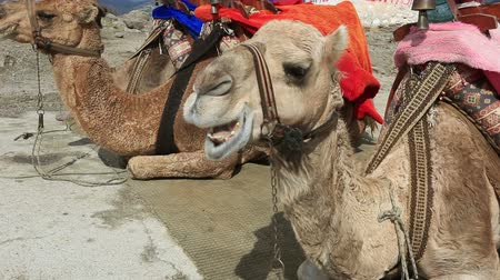 camelo : two Camel sitting