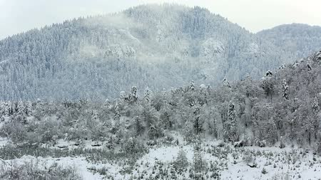 pinho : pine forest in winter,  pan shoot