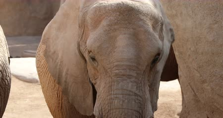elefant : close up african elephant Stock Footage