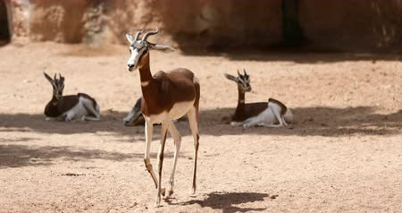 grants : group of Thomsons gazelle