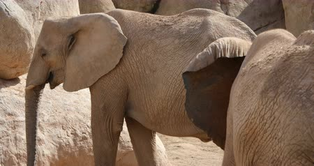 elefant : african elephant family Stock Footage