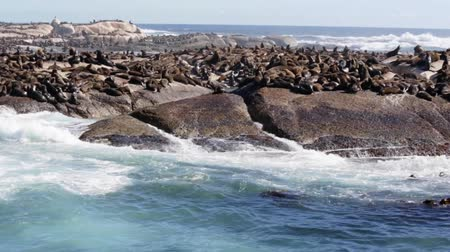 hazugság : Thousands of seals sunning on Seal Island near the south western tip of South Africa