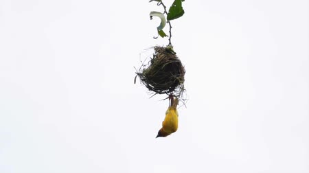 gałązki : A little angry yellow Robin destroying a nest hanging on a small twig