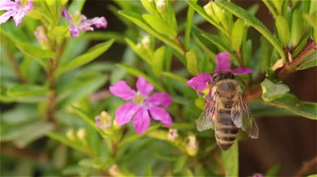 insetos : A bee in search of a flower with nectar