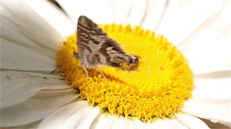 A closeup macro shot of a small butterfly on a daisy in the garden
