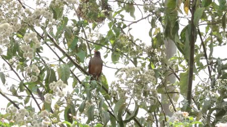 A beautiful Olive Thrush (Turdus olivaceus) on a tree Стоковые видеозаписи
