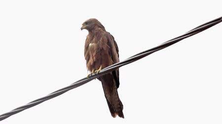 Black Kite, a medium sized bird of pray locally known as Amora in Ethiopia, Стоковые видеозаписи