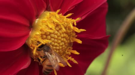 A honey bee pollinating a beautiful red and yellow flower Стоковые видеозаписи