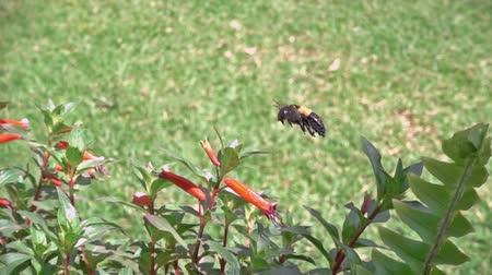 Slow motion video of a bee flying around a bed of flower and collecting nectar