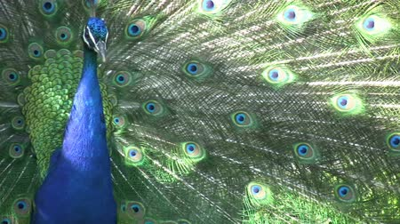 plumas : Pavo real Archivo de Video