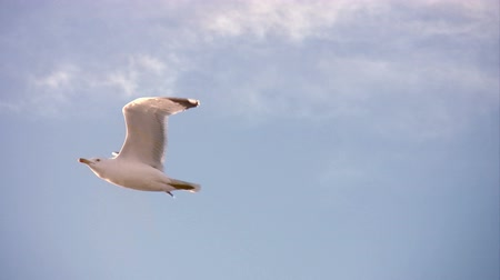 racek : Seagull flying