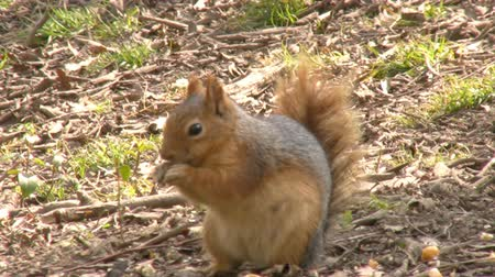 hibernation : Squirrel Eating Nuts Stock Footage