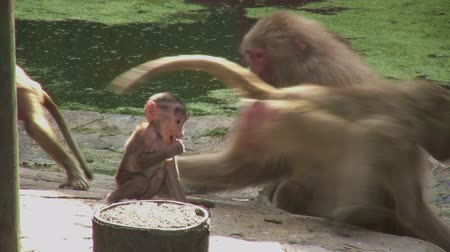 baboon : Baboons playing near the water Stock Footage