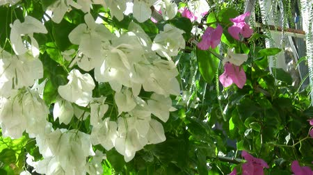 curazao : Flor blanca Bougainvillea Archivo de Video