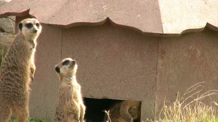 стоять : Resting Meerkat looking at the camera