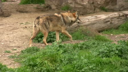 farkas : Gray wolf walking