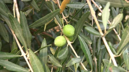 olijf : Olive tree Stockvideo
