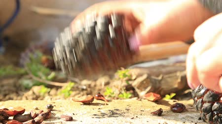 sedir : Female hands picks up a pine nut in a pine cones Stok Video