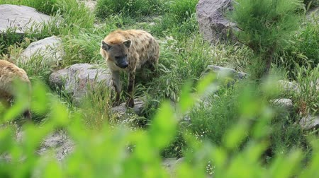 voracious : Crocuta crocuta. Wild Spotted,  Laughing Hyena Family