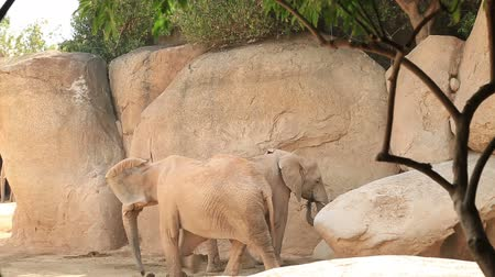 fascination : Two big African elephant
