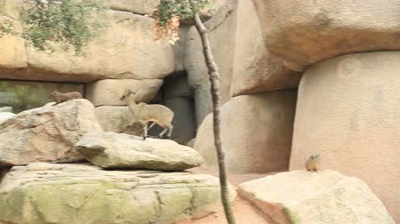 diurnal : Rock hyrax (Procavia capensis) and gazelle