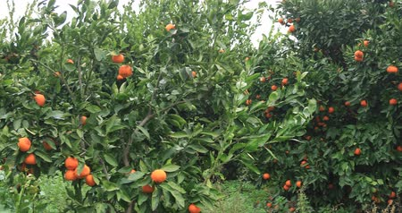 mandarynka : Tangerine garden with lots of tangerine