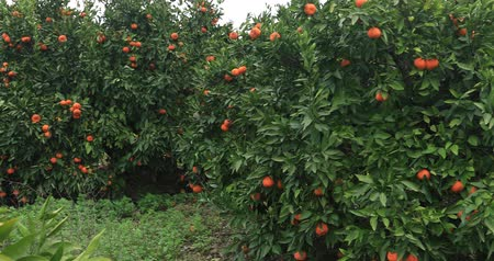 tangerina : Tangerine fruit trees orchard