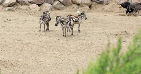 Танзания : Zebra family walking on the savannah