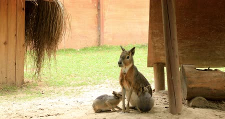 câmara : Patagonian mara breastfeeding its cubs Dolichotis patagonum Patagonian maras are long-legged rodents with bodies similar to hoofed animals.Dolichotis patagonum is endemic to the open grasslands and shrubland steppes of Argentina. Stock Footage