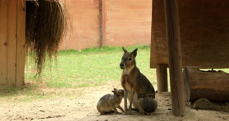 Патагония : Patagonian mara breastfeeding its cubs Dolichotis patagonum Patagonian maras are long-legged rodents with bodies similar to hoofed animals.Dolichotis patagonum is endemic to the open grasslands and shrubland steppes of Argentina. Стоковые видеозаписи