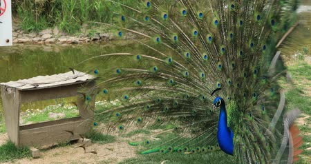 tanımlayıcı : Portrait of a beautiful peacock with feathers out