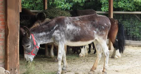 flâmula : Side view of a beautiful donkey feeding wih hay in barn at the farm Stock Footage