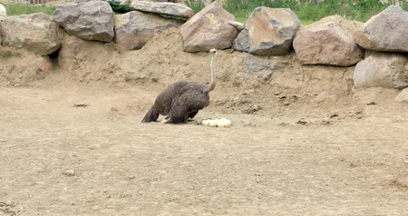 pštros : Ostrich inspects its eggs in nest Dostupné videozáznamy