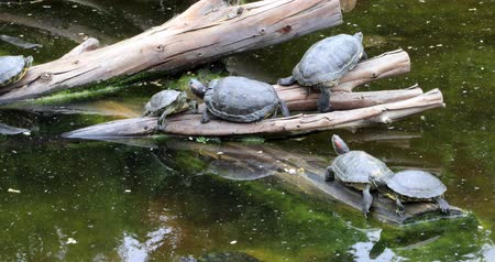 reptilian : Turtles family family sunbathing