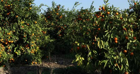 апельсины : Mandarin trees with fruits on plantation Стоковые видеозаписи