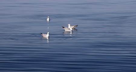 taken : A herd of Seagull swimming on  calm deep blue sea