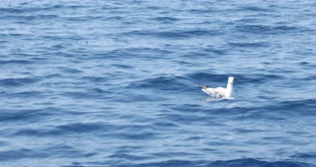 aves marinhas : One beautiful seagull swimming on blue mediterranean sea