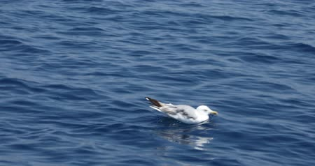 hering : One beautiful seagull swimming on blue mediterranean sea