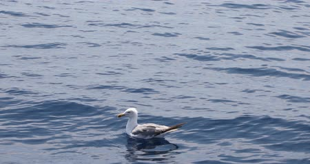 морских птиц : One beautiful seagull swimming on blue mediterranean sea