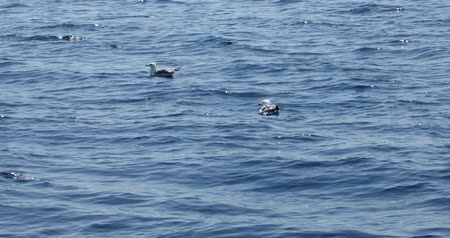 aves marinhas : Beautiful seagulls swimming on blue mediterranean sea Vídeos