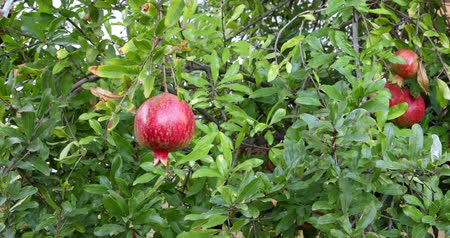 granada : Ripe pomegranate fruit on the tree branch