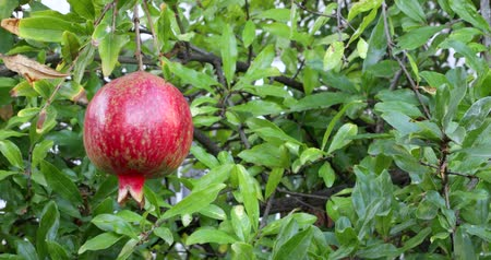 pom : Ripe pomegranate fruit on the tree branch