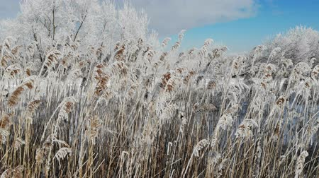 sazlık : Wind shakes the snow covered Phragmites australis, close up. Grows near water. Winter time