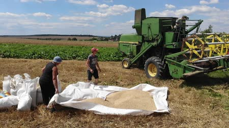 reaping : Drohobych, Ukraine - 04 July, 2018: people are collecting wheat into the bags. Harvesting, countryside. Slow motion