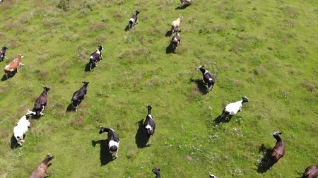 cow flies : Aerial view of Herd of running cows, stockbreeding. Slow motion, above