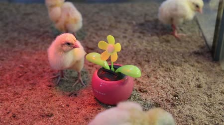 animal jovem : chickens flower