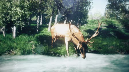 early morning : Beautiful Sunny spring forest and a deer that drinks water from the stream