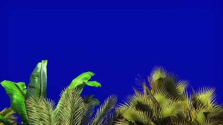 экзотичность : Tropical plant in the wind on blue screen. Beautiful summer looped background.
