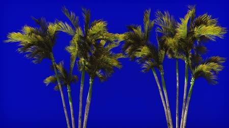 cheat : Palm trees in the wind on blue screen. Beautiful summer looped background.
